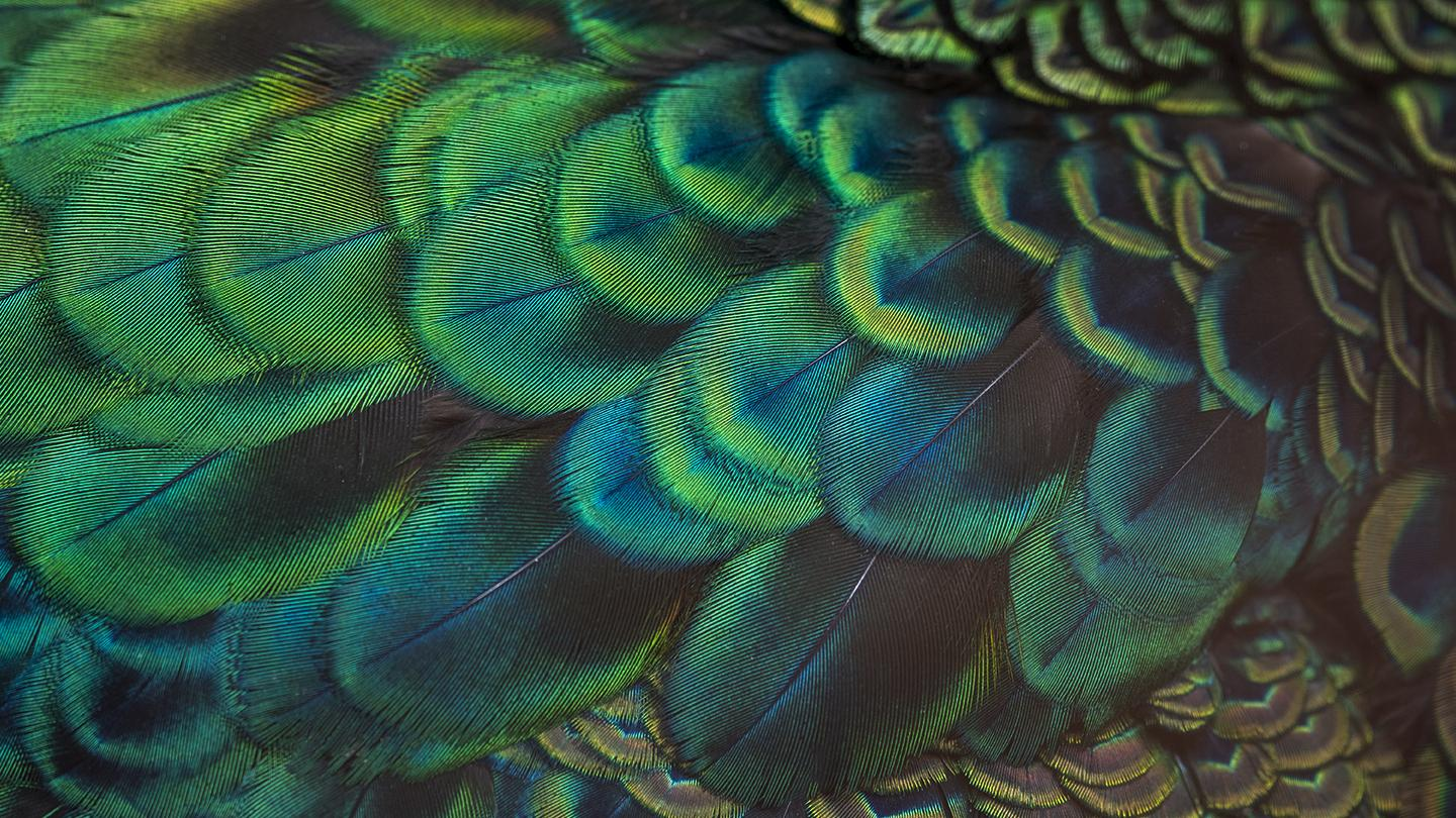 CGI bird feathers painted and textured with Mari software from Foundry